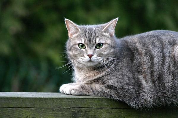 A grey striped cat sitting on a wood fence